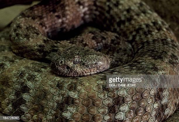 Eastern diamondback rattlesnake Viperidae Messico
