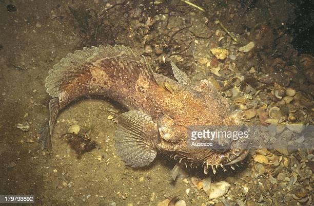Eastern frogfish Batrachomoeus dubius resting on ocean floor Sydney New South Wales Australia