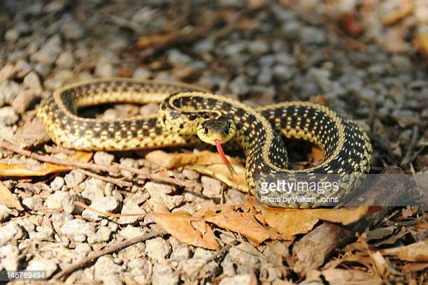 eastern garter snake - garter snake stock pictures, royalty-free photos & images