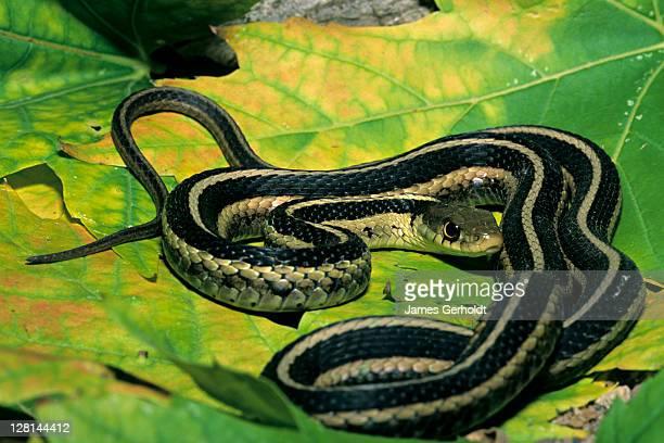 eastern garter snake, thamnophis s. sirtalis, dakota county, minnesota, usa - garter snake stock pictures, royalty-free photos & images