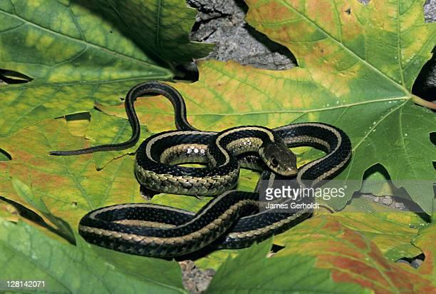 eastern garter snake, thamnophis sirtalis sirtalis, dakota county, minnesota, usa - squamata stock photos and pictures