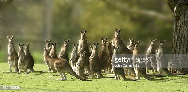 eastern gray kangaroos - kangaroo stock pictures, royalty-free photos & images