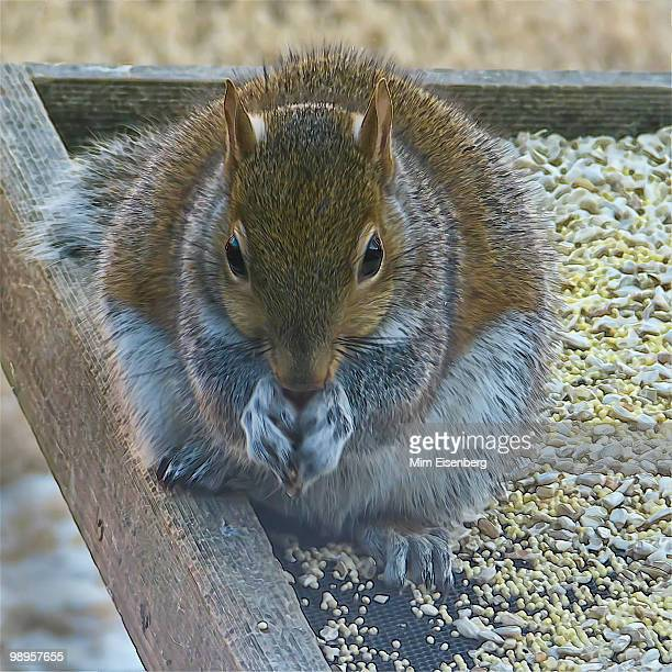 eastern gray squirrel at tray feeder - eastern gray squirrel stock photos and pictures