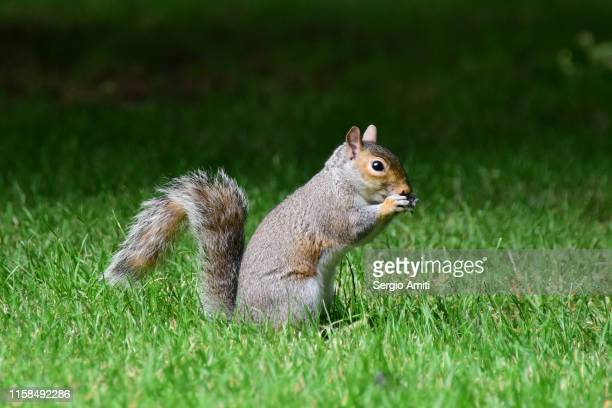 eastern gray squirrel eating a nut - gray squirrel stock pictures, royalty-free photos & images