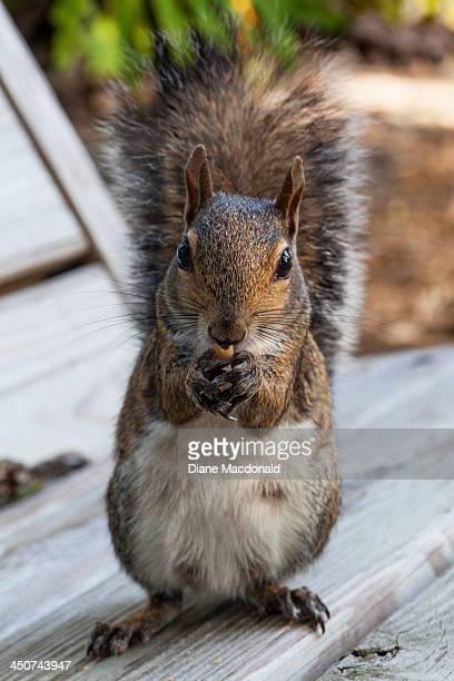 Eastern Gray Squirrel Eating a Peanut