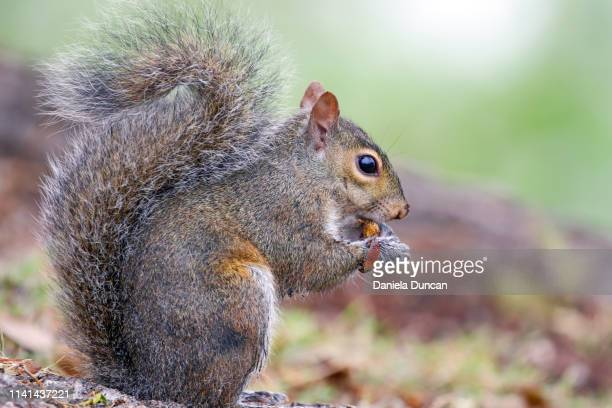 eastern gray squirrel eating - gray squirrel stock pictures, royalty-free photos & images