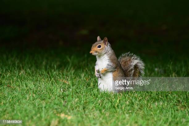 eastern gray squirrel - sergio amiti stock pictures, royalty-free photos & images