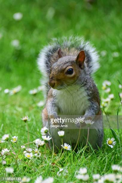 eastern gray squirrel - gray squirrel stock pictures, royalty-free photos & images