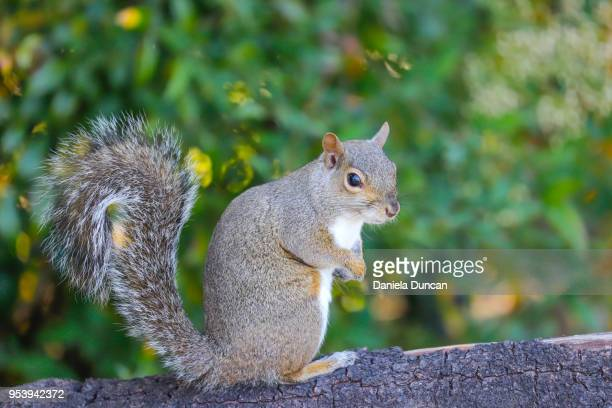 eastern gray squirrel - eastern gray squirrel stock photos and pictures