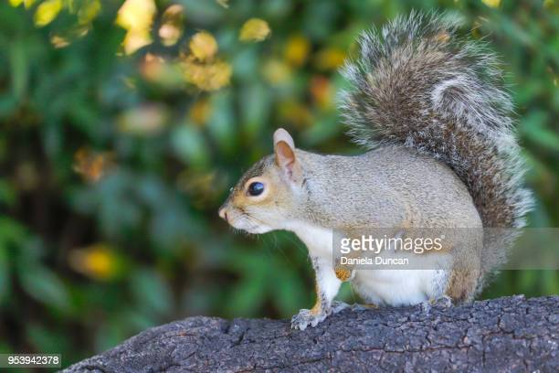 eastern gray squirrel - gray squirrel stock photos and pictures