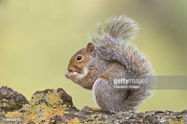 Eastern Gray Squirrel Sciurus carolinensis eating sweet chestnut Bushy Park London