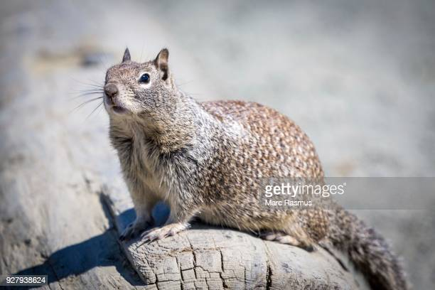 eastern gray squirrel (sciurus carolinensis) sits on tree trunk, west coast, california, usa - eastern gray squirrel stock photos and pictures