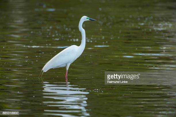 Eastern Great Egret, Ardea alba modesta, Rockhampton, Queensland, Australia