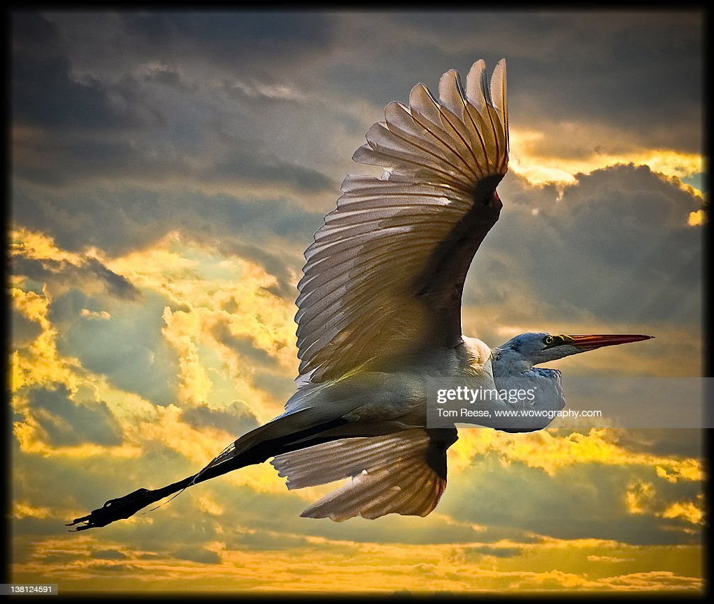 Eastern Great Egret : Stock Photo