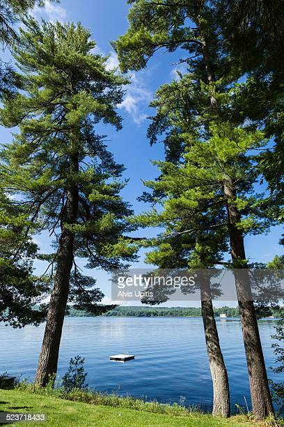 eastern great pines on bank of maine lake. - eastern white pine stock pictures, royalty-free photos & images