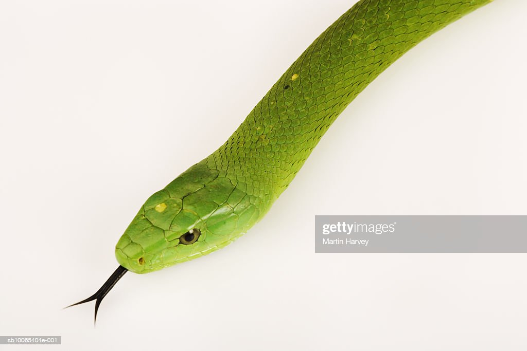 Eastern green mamba (Dendroaspis angusticeps) on white background : Foto stock