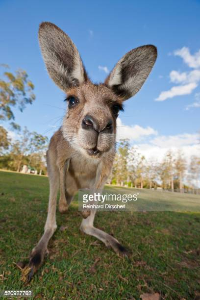 Eastern Grey Kangaroo, Australia