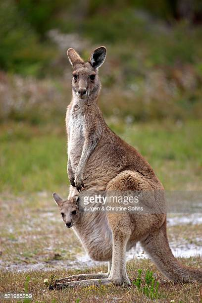 eastern grey kangaroo -macropus giganteus- female with joey looking out of pouch, wilsons promontory national park, victoria, australia - sac stock pictures, royalty-free photos & images