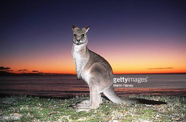 Eastern Grey Kangaroo, Macropus giganteus , Sunrise on the East Coast. Australia