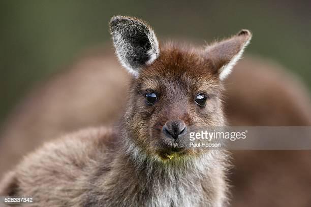 Eastern Grey Kangaroo, Marcropus cinereus, Kangaroo Island, Australia