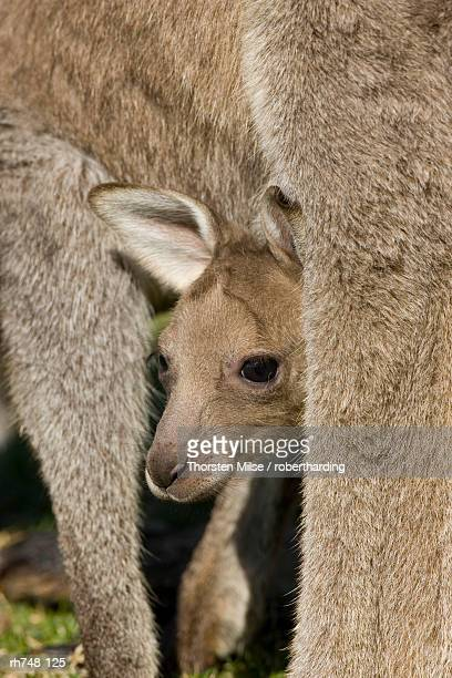 Eastern Grey Kangaroo, (Macropus giganteus), Pebbly Beach, Marramarang N.P., New South Wales, Australia
