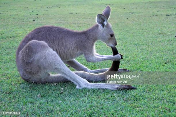 eastern grey kangaroo - rafael ben ari stock-fotos und bilder