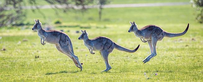 Eastern Grey Kangaroo showing bounding hopping action 1030835390