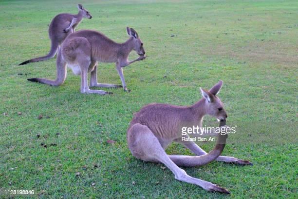 eastern grey kangaroos - rafael ben ari stock-fotos und bilder