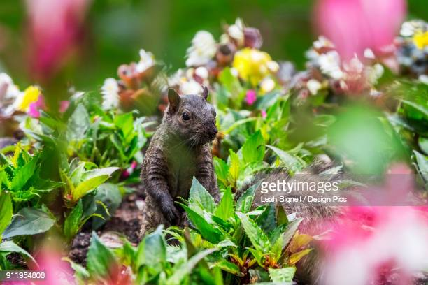 A Eastern Grey Squirrel (Sciurus Carolinensis) Looking Out From Among A Bed Of Flowers In Beacon Hill Park