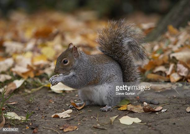 eastern grey squirrel (sciurus carolinensis) perching on the ground surrounded by leaves - eastern gray squirrel stock photos and pictures
