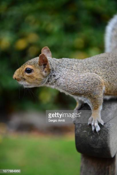 eastern grey squirrel - eastern gray squirrel stock photos and pictures