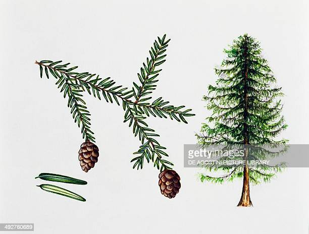 Eastern hemlock Canada hemlock or Hemlock spruce Pinaceae tree leaves and fruit illustration
