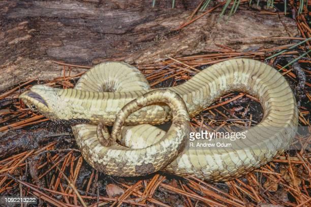 eastern hognose snake feigning death - hognose snake stock pictures, royalty-free photos & images