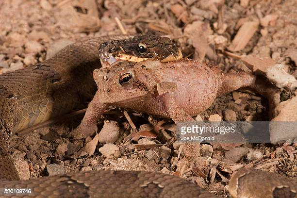 eastern hognose snake, heterodon platyrhinos. eastern usa. eating/swallowing an american toad, bufo americanus. controlled situation. - hognose snake stock pictures, royalty-free photos & images