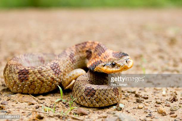 eastern hognose snake in defensive posture - hognose snake stock pictures, royalty-free photos & images