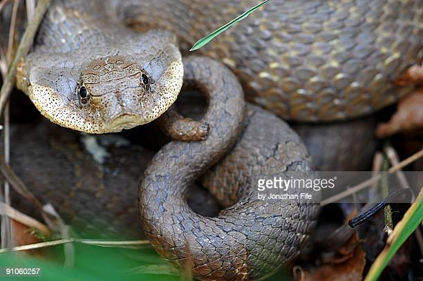 eastern hognose snake - hognose snake stock pictures, royalty-free photos & images