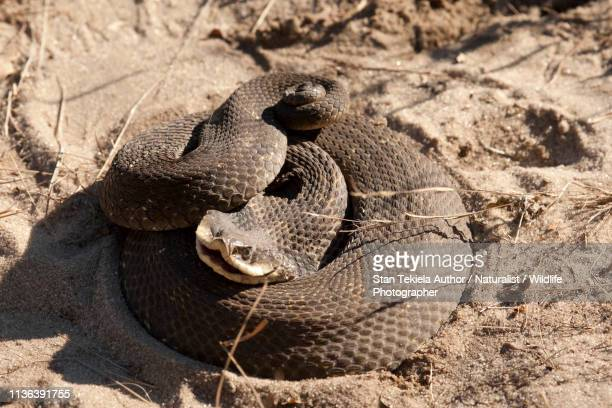 eastern hog-nosed snake coiled on sand - hognose snake stock pictures, royalty-free photos & images
