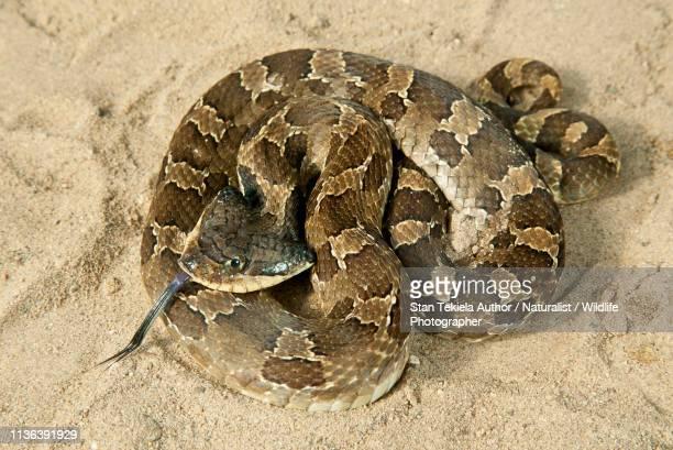 eastern hog-nosed snake, hognosed snake, coiled on sand - hognose snake stock pictures, royalty-free photos & images