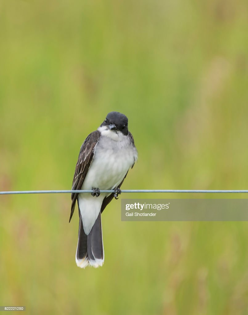 Eastern Kingbird : Stock Photo