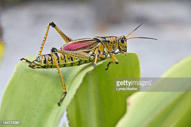 eastern lubber grasshopper - captiva island stock photos and pictures
