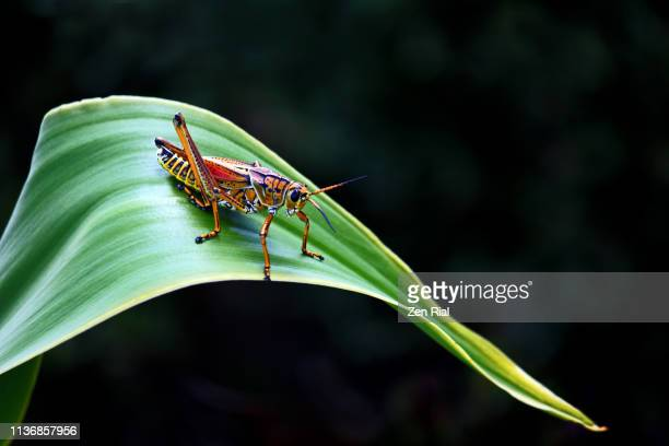 eastern lubber grasshopper resting on a tropical leaf against dark background - grasshopper stock pictures, royalty-free photos & images