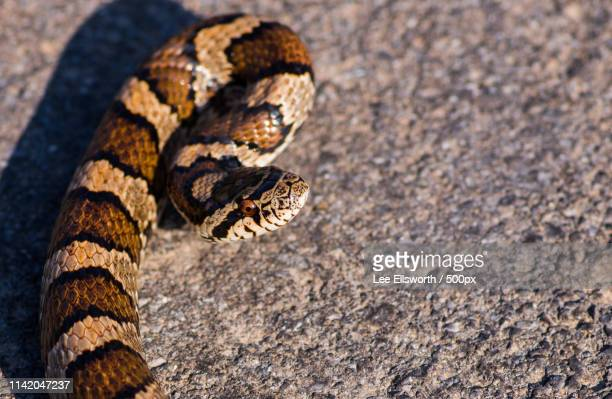 eastern milk snake - milk snake stock pictures, royalty-free photos & images
