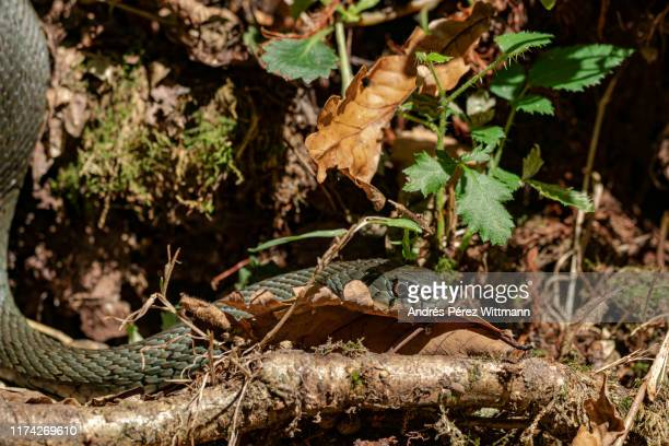 eastern montpellier snake (malpolon insignitus), poisonous snake - reptile leather stock pictures, royalty-free photos & images
