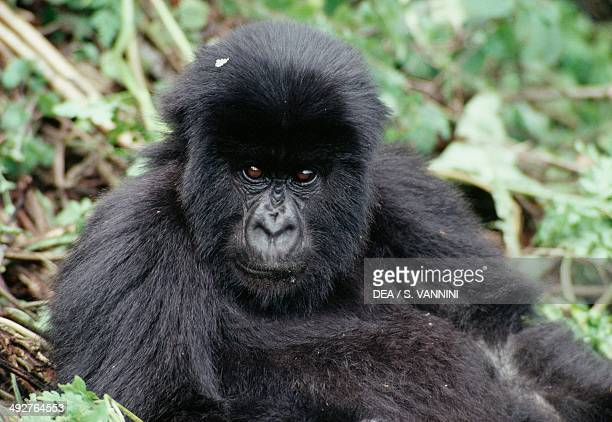 Eastern mountain gorilla Hominidae Kinigi Rwanda
