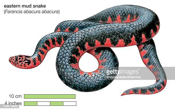 Eastern Mud Snake