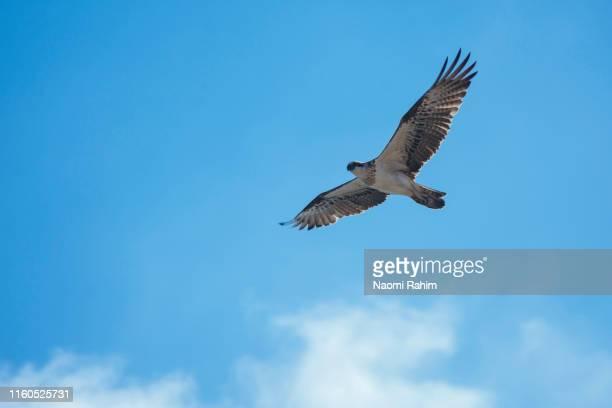 eastern osprey eagle flying in blue skies, high above rottnest island - perth, western australia - schnabel stock-fotos und bilder