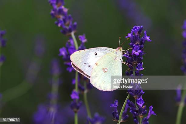 Eastern Pale Clouded Yellow Butterfly on Lavender Flower
