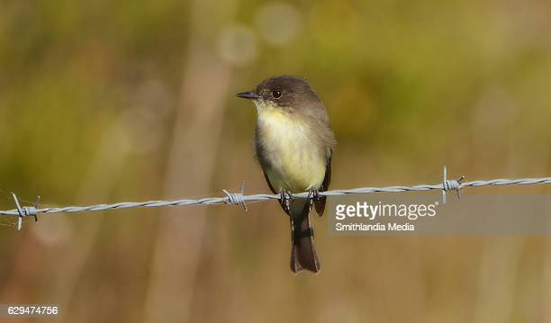 Eastern Phoebe Perched On A Barbed Wire - Sayornis phoebe