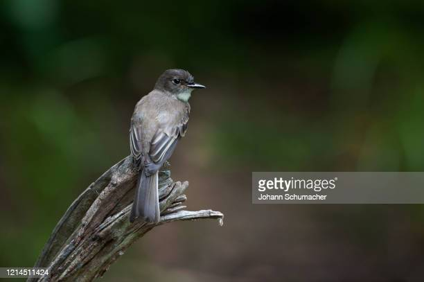 eastern phoebe perched on snag - songbird stock pictures, royalty-free photos & images