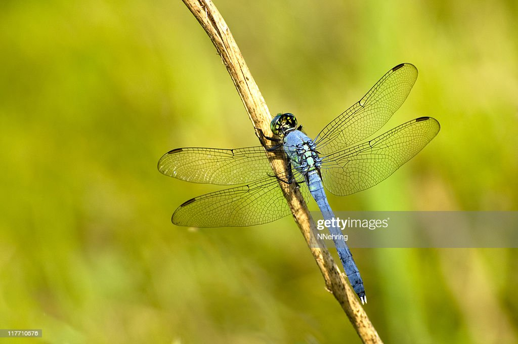 Eastern pondhawk, Erythemis simplicicollis, dragonfly : Stock Photo